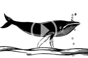 TVWork-Animaux-Musiciens-baleines